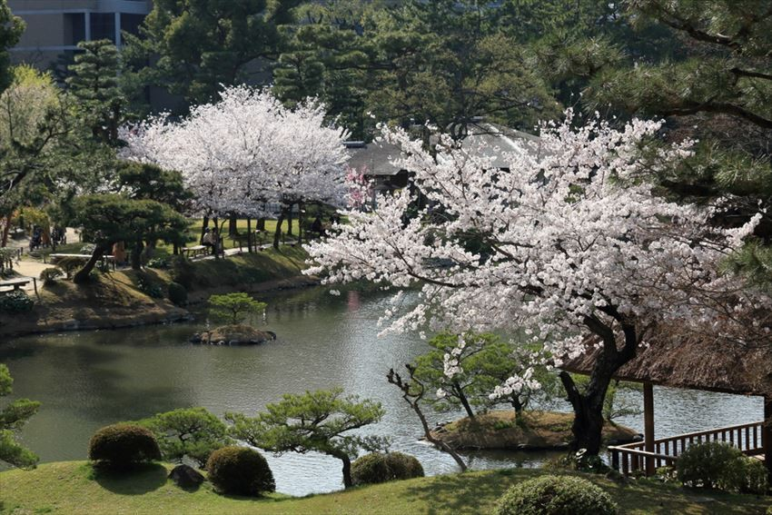 Marvel at the Graceful Cherry Blossoms in Hiroshima