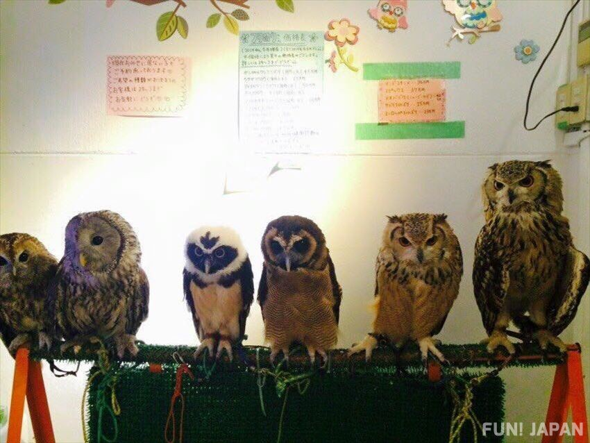 Interacting with animals, owls that call for good fortune, in Owl Café!