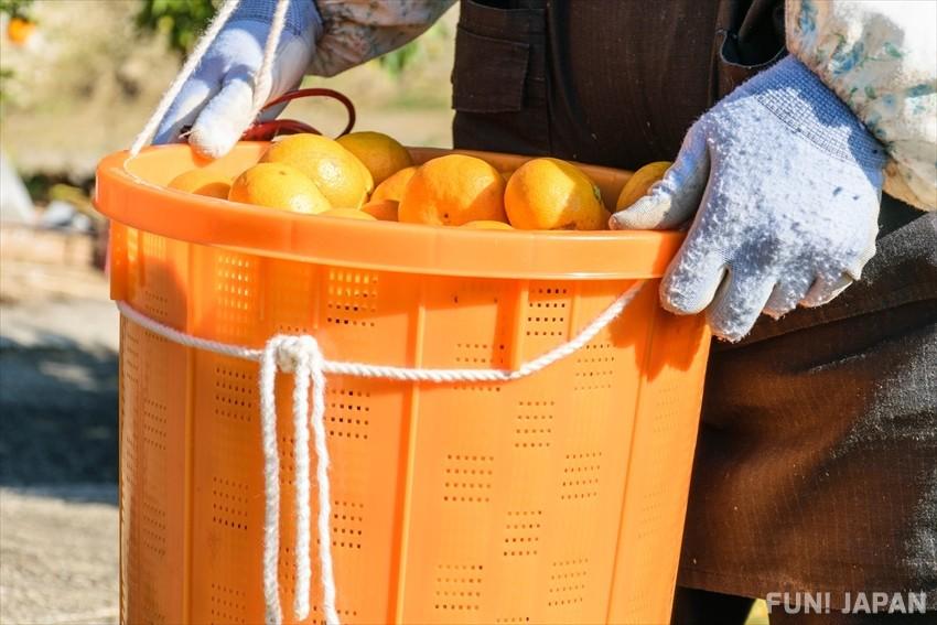 Why Wakayama is the Home of Mandarins
